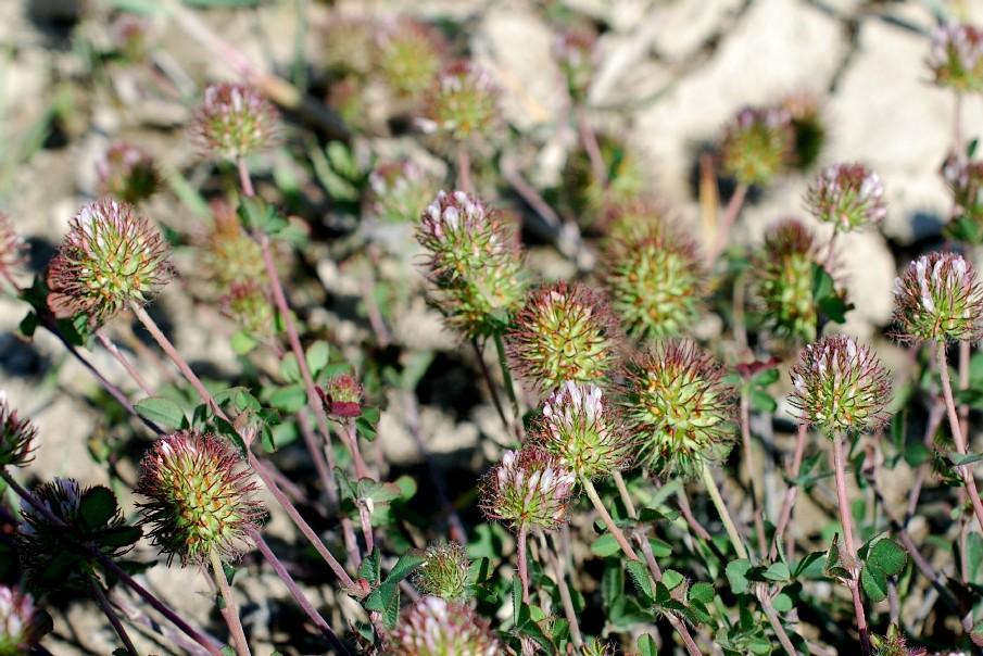 Trifolium lappaceum 20