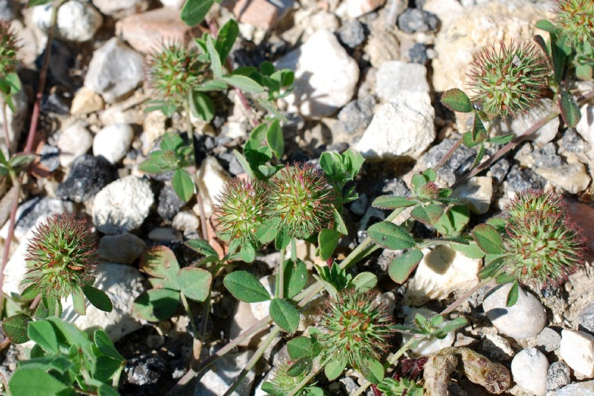 Trifolium lappaceum 21