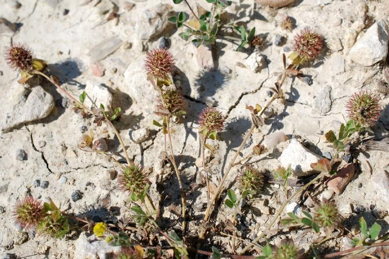 Trifolium lappaceum 22