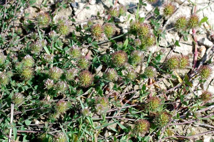 Trifolium lappaceum 23