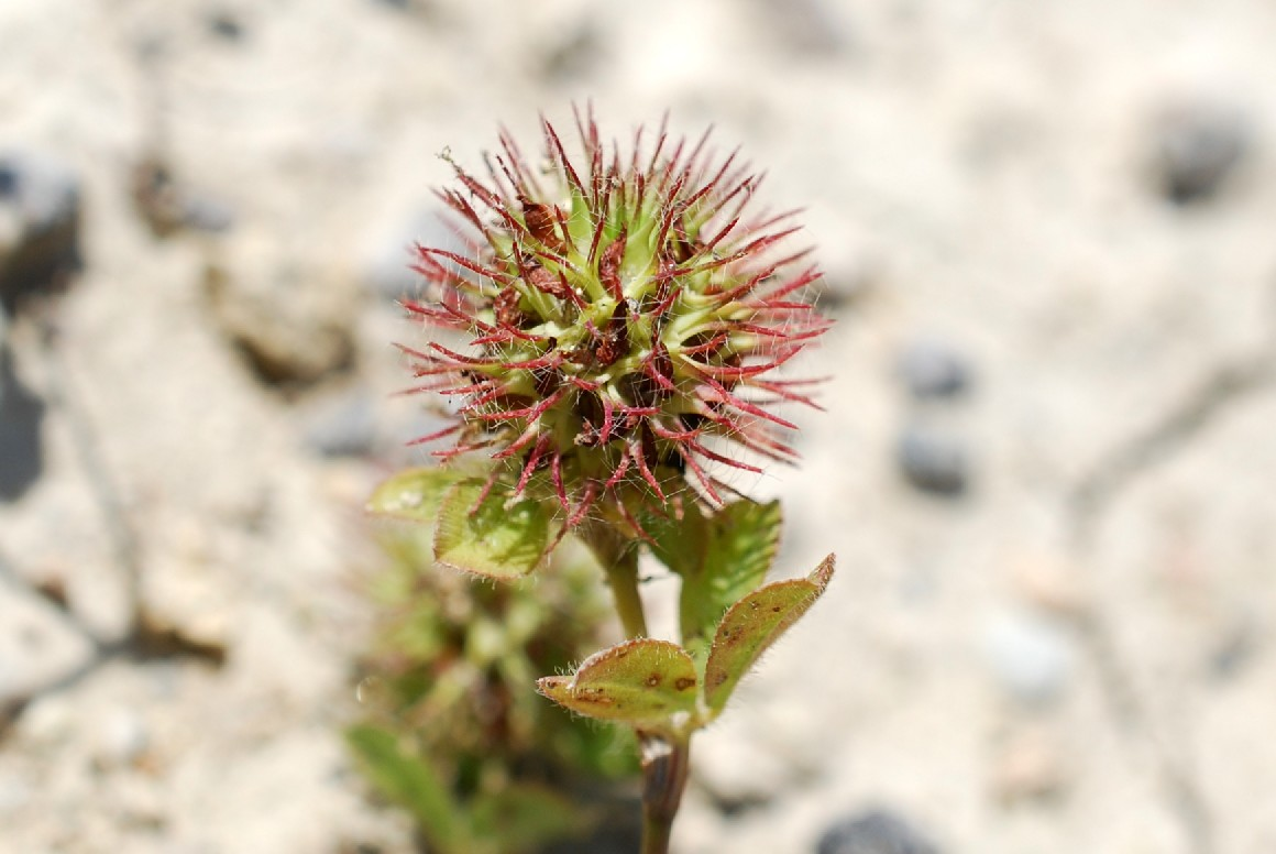 Trifolium lappaceum 25