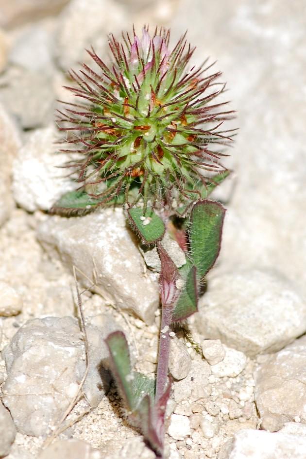 Trifolium lappaceum 6