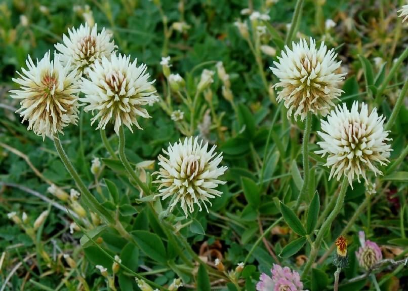 Trifolium montanum subsp.  rupestre