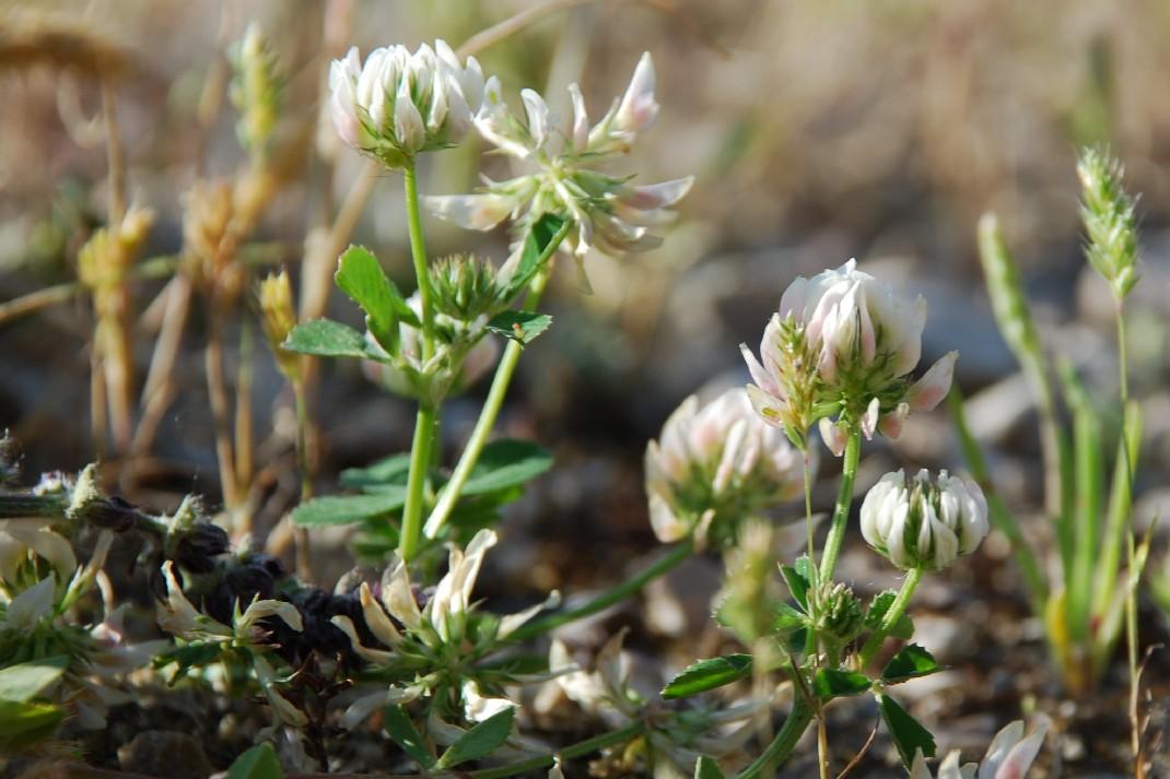 Trifolium nigrescens subsp. nigrescens 10