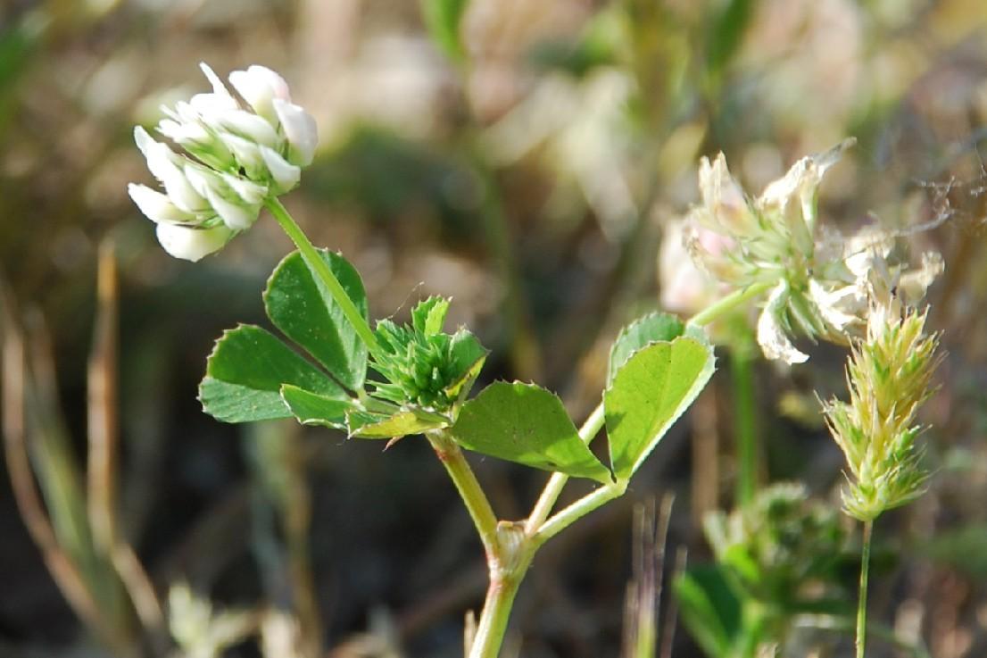 Trifolium nigrescens subsp. nigrescens 11