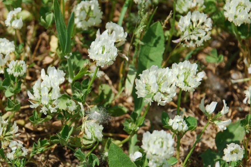 Trifolium nigrescens subsp. nigrescens 15
