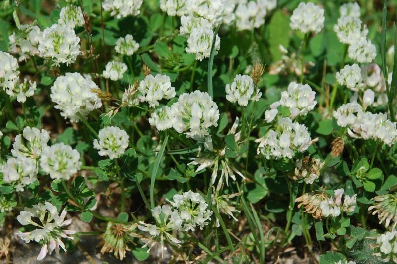 Trifolium nigrescens subsp. nigrescens 16