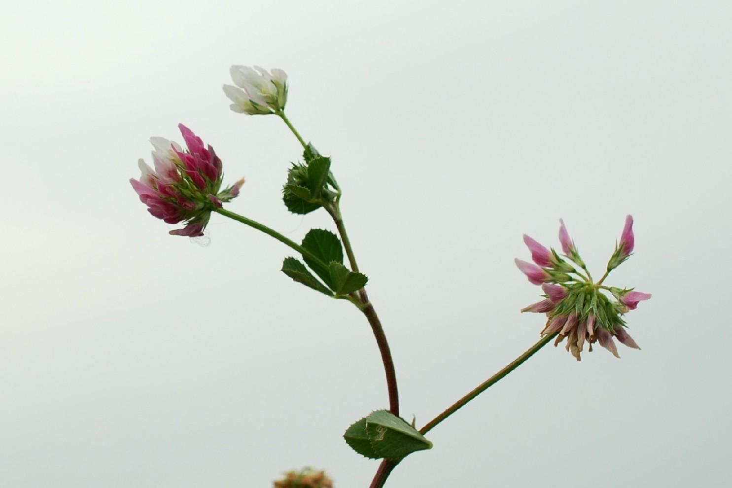 Trifolium nigrescens subsp. nigrescens 17