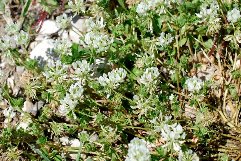 Trifolium nigrescens subsp. nigrescens 18