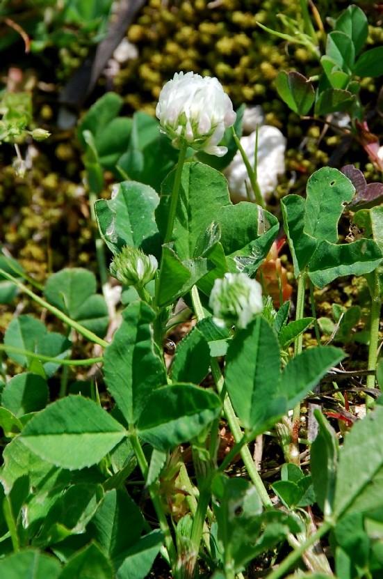 Trifolium nigrescens subsp. nigrescens 2