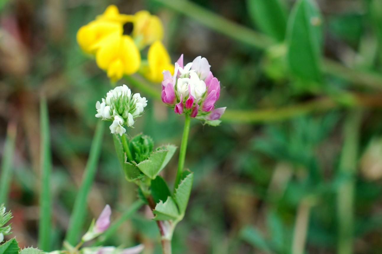 Trifolium nigrescens subsp. nigrescens 21