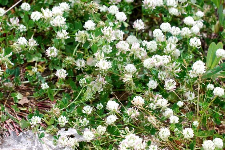 Trifolium nigrescens subsp. nigrescens 22