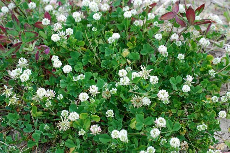 Trifolium nigrescens subsp. nigrescens 23