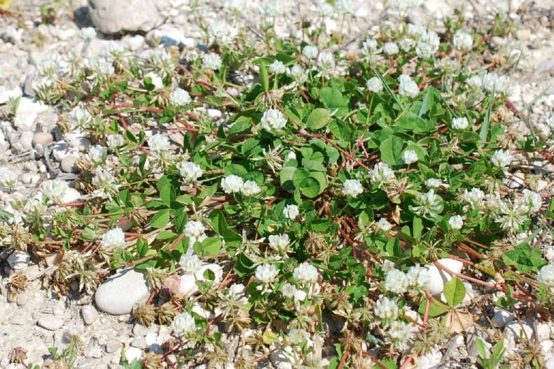 Trifolium nigrescens subsp. nigrescens 24