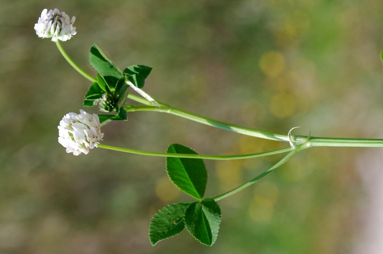 Trifolium nigrescens subsp. nigrescens 3