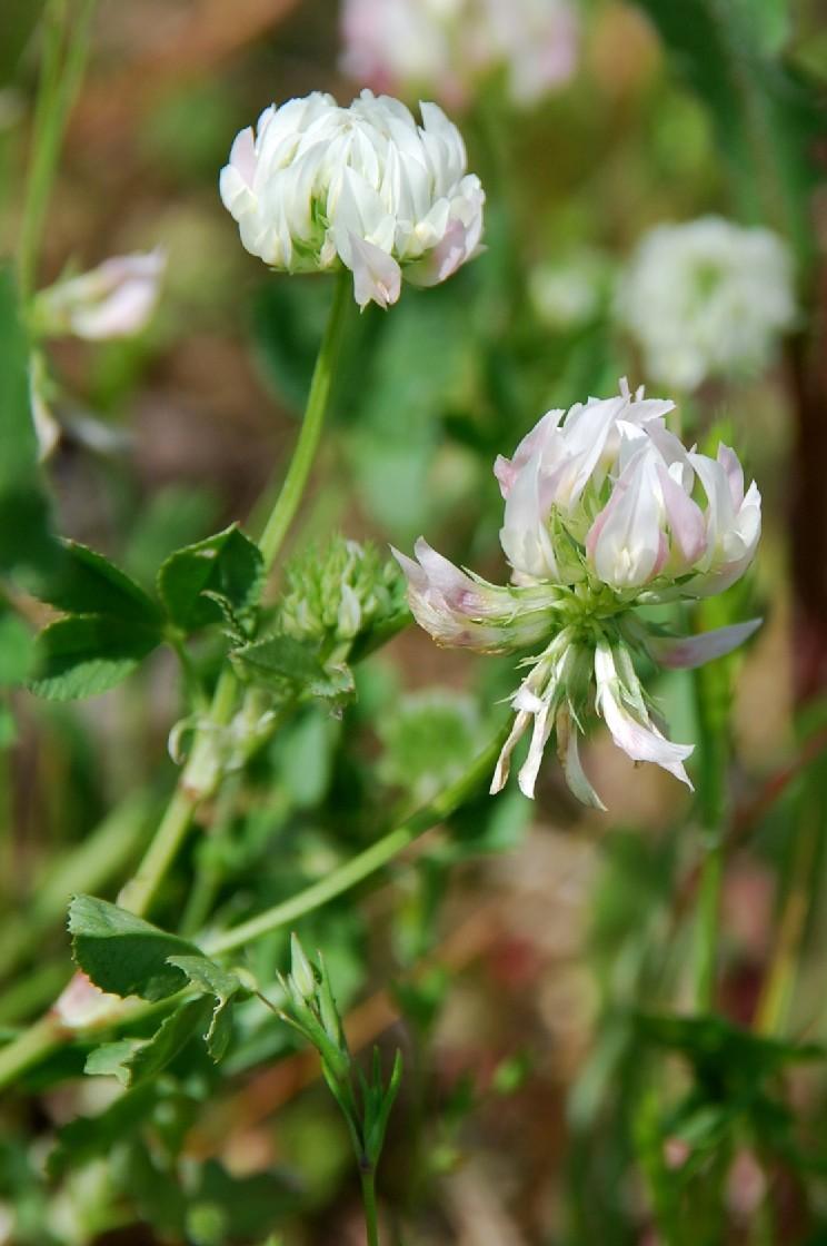 Trifolium nigrescens subsp. nigrescens