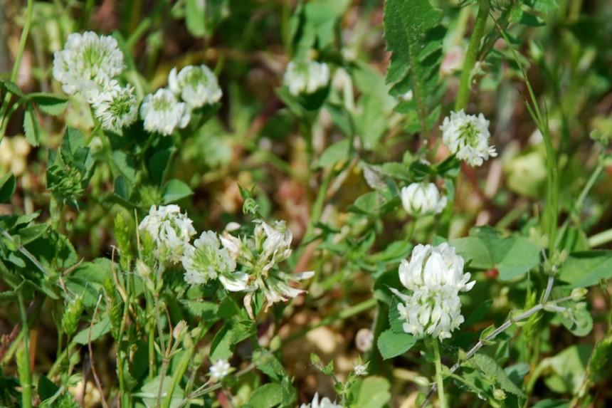 Trifolium nigrescens subsp. nigrescens 5