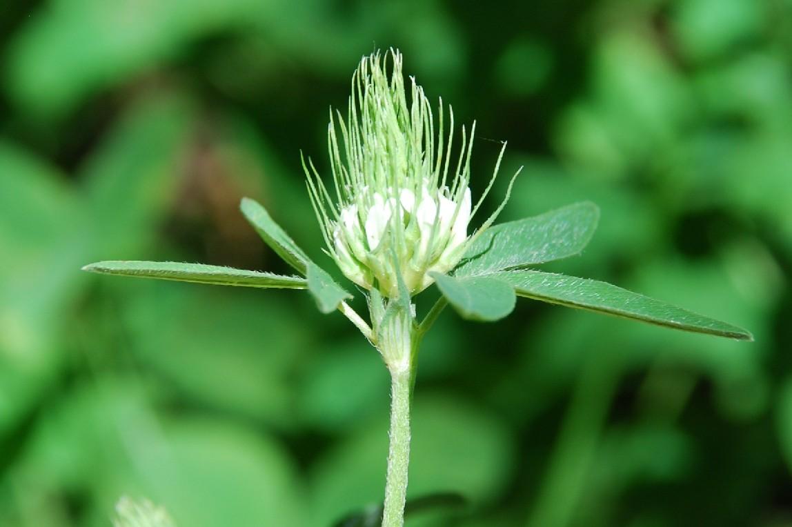 Trifolium ochroleucon 12