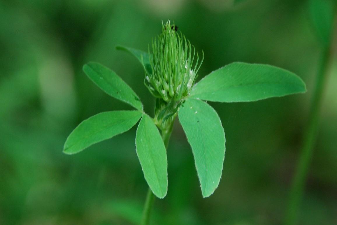 Trifolium ochroleucon 14