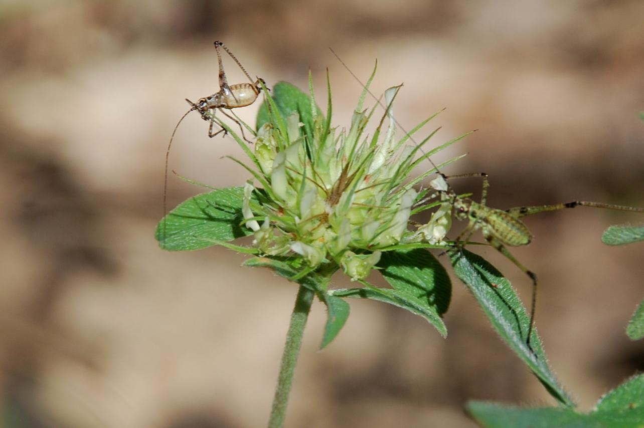 Trifolium ochroleucon 20
