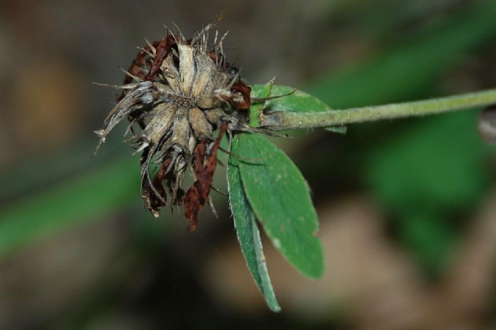 Trifolium ochroleucon 4