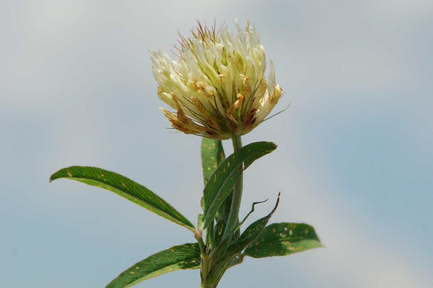 Trifolium ochroleucon 5