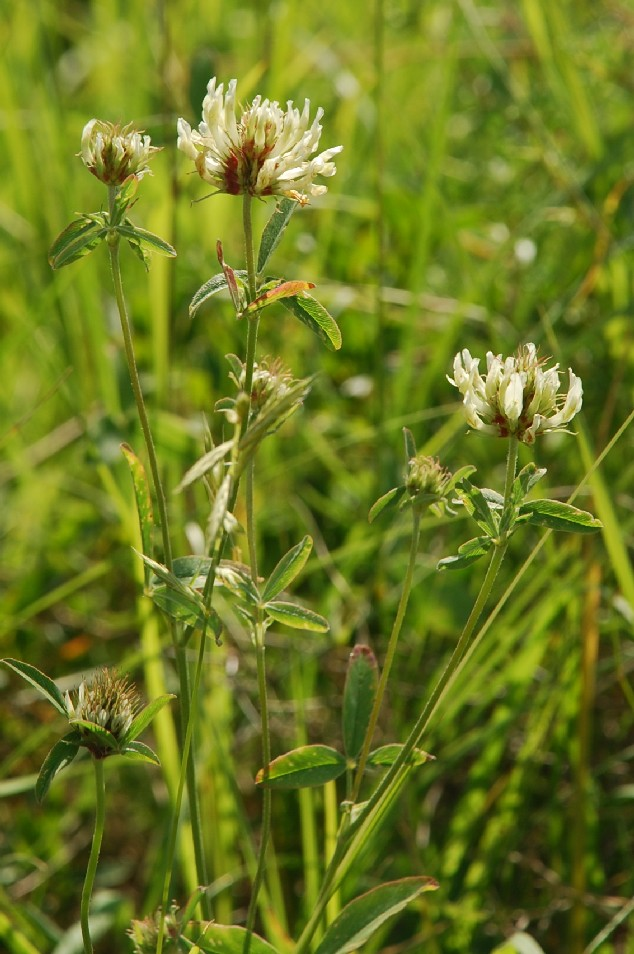 Trifolium ochroleucon 7
