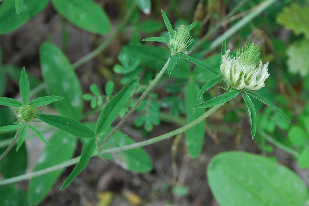 Trifolium ochroleucon 9