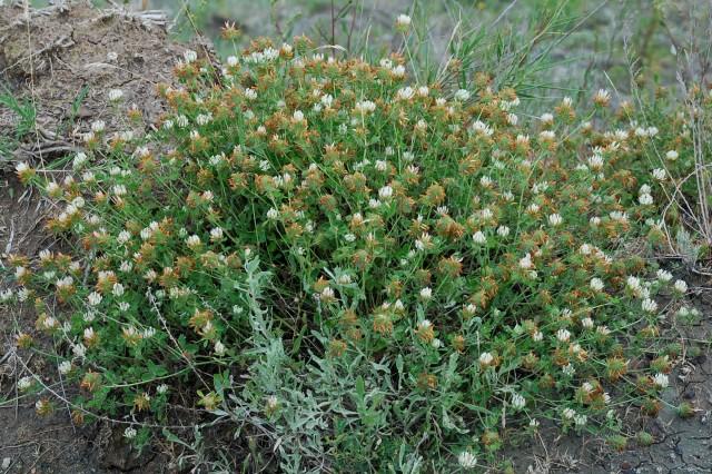 Trifolium pallidum 11
