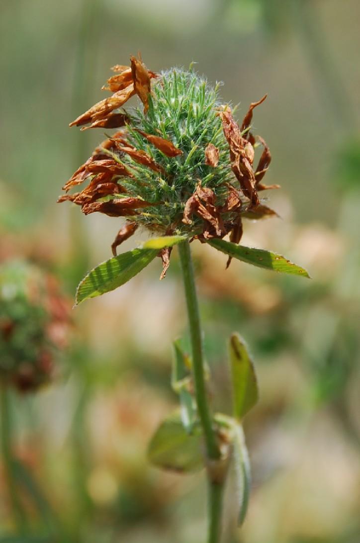 Trifolium pallidum 12
