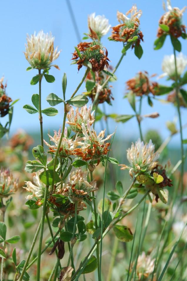 Trifolium pallidum 13