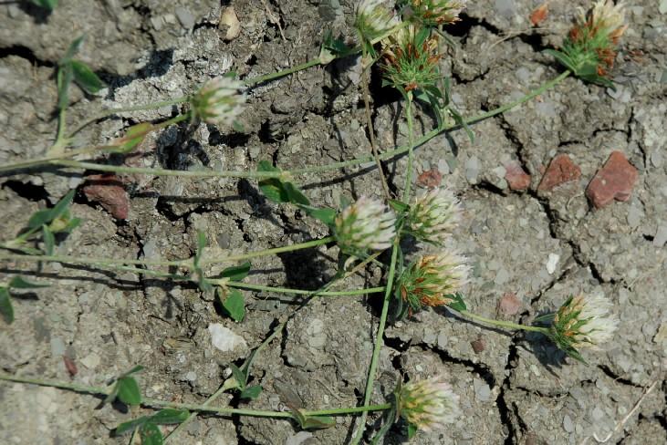 Trifolium pallidum 14