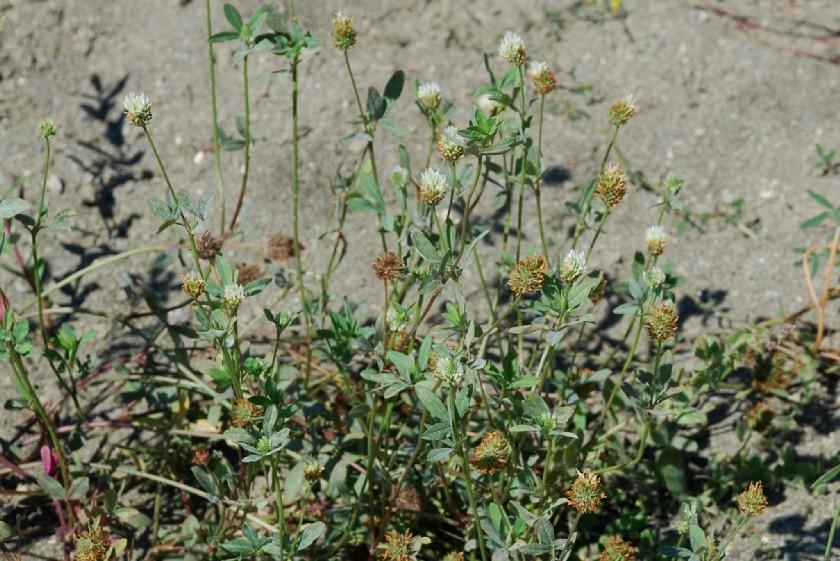Trifolium pallidum 16