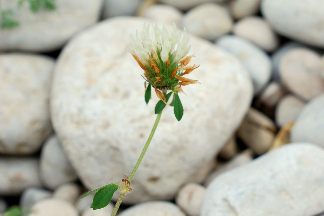 Trifolium pallidum 19