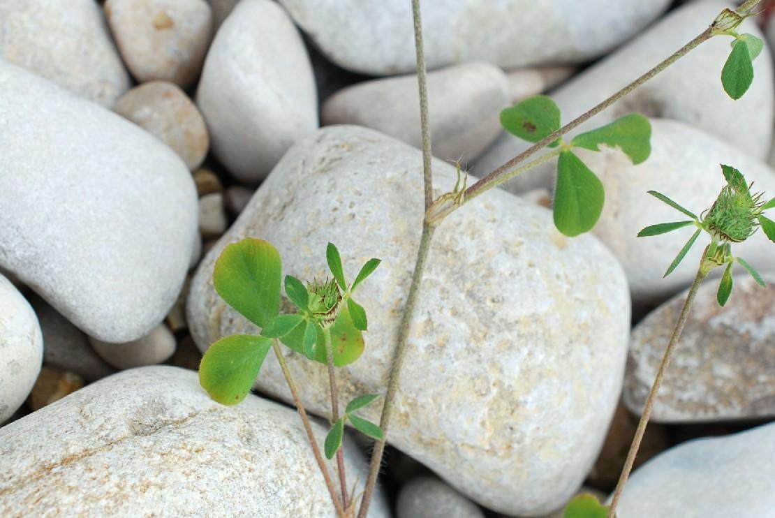 Trifolium pallidum 20