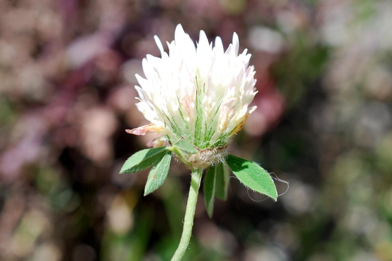 Trifolium pallidum 21