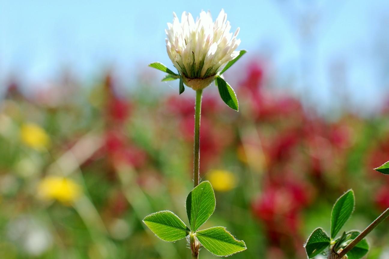Trifolium pallidum 22