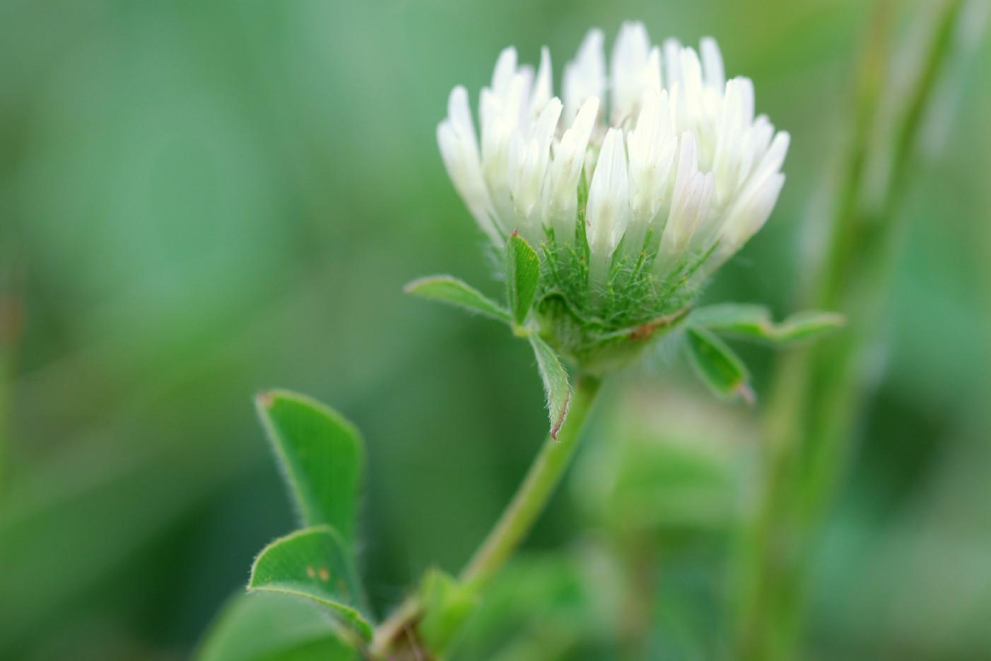 Trifolium pallidum 6