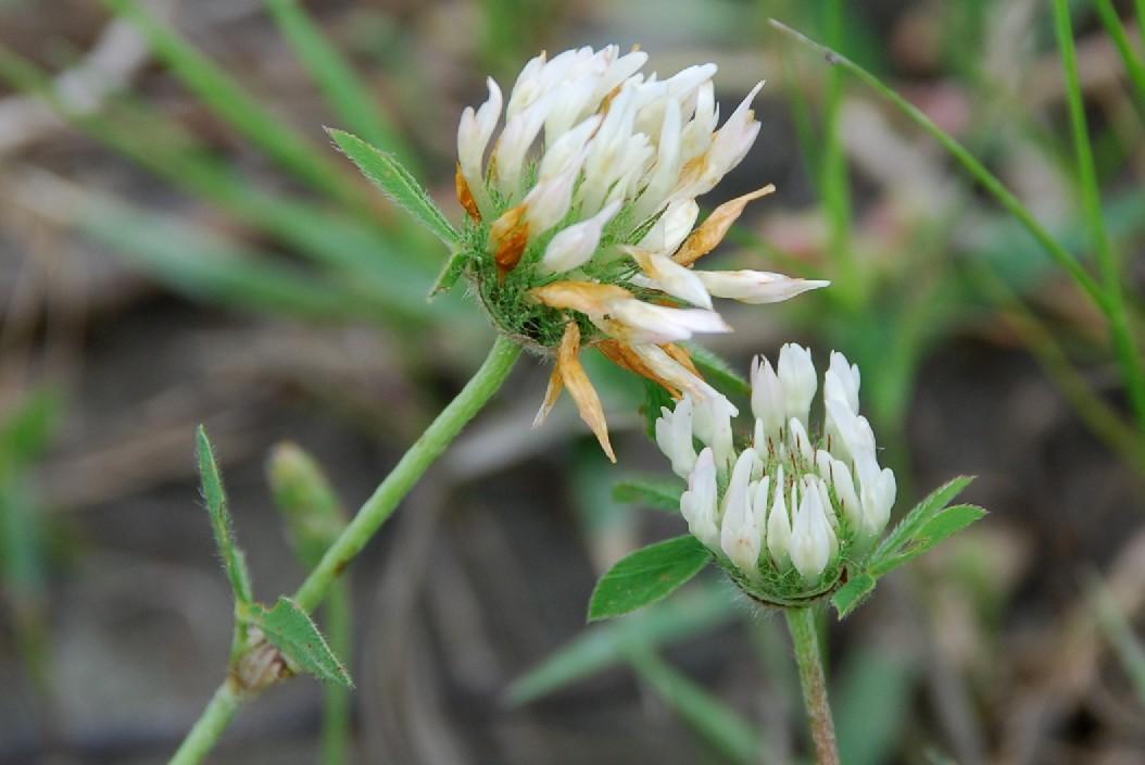 Trifolium pallidum 8