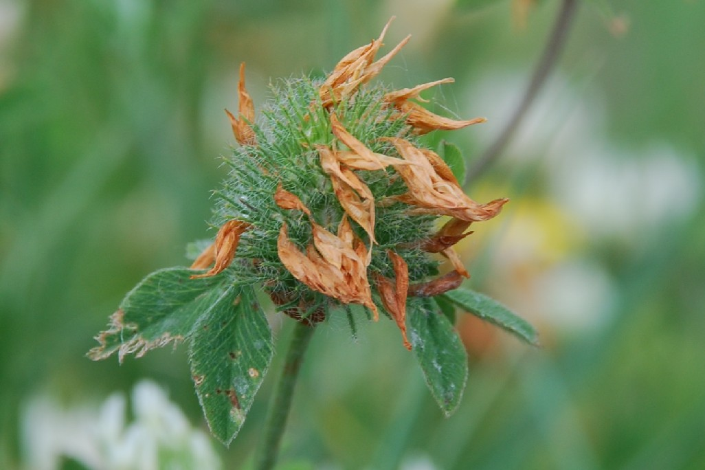 Trifolium pallidum 9
