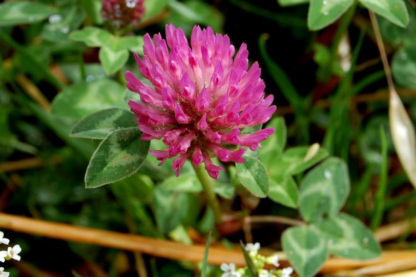 Trifolium pratense subp. pratense