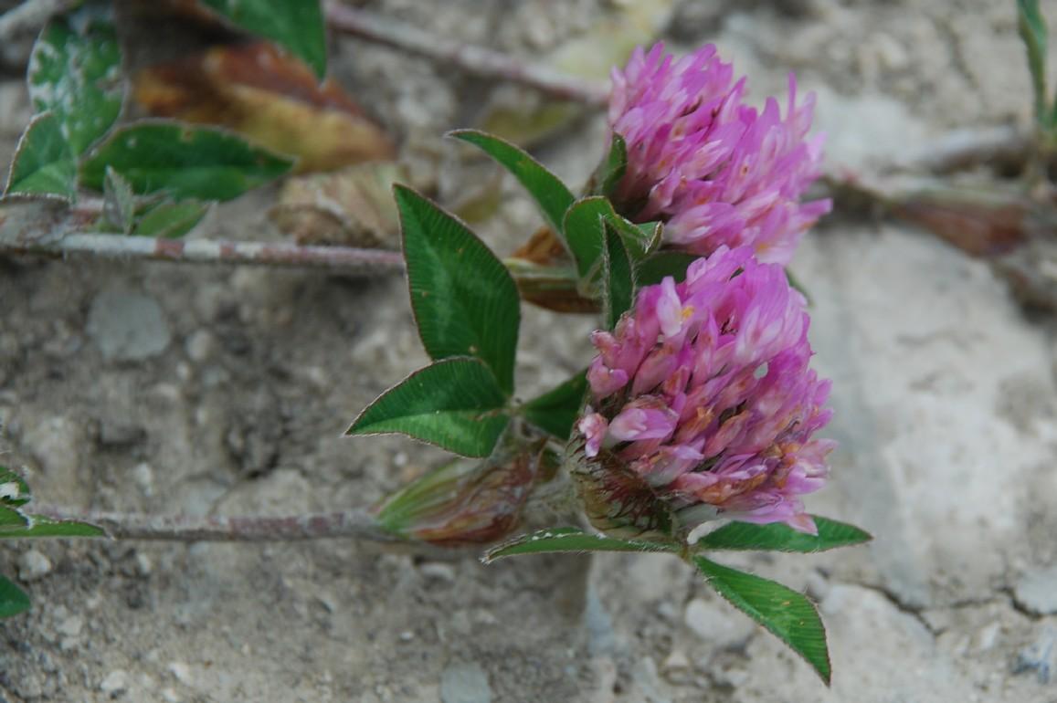 Trifolium pratense subsp. pratense 11