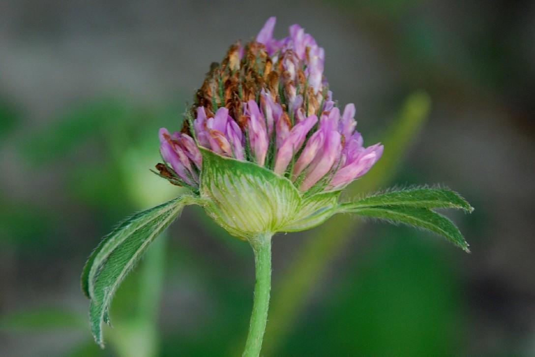 Trifolium pratense subsp. pratense 12