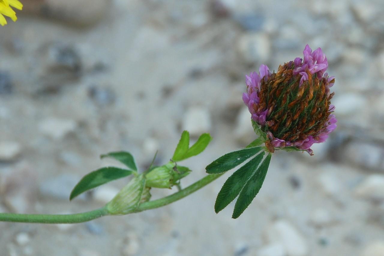 Trifolium pratense subsp. pratense 13