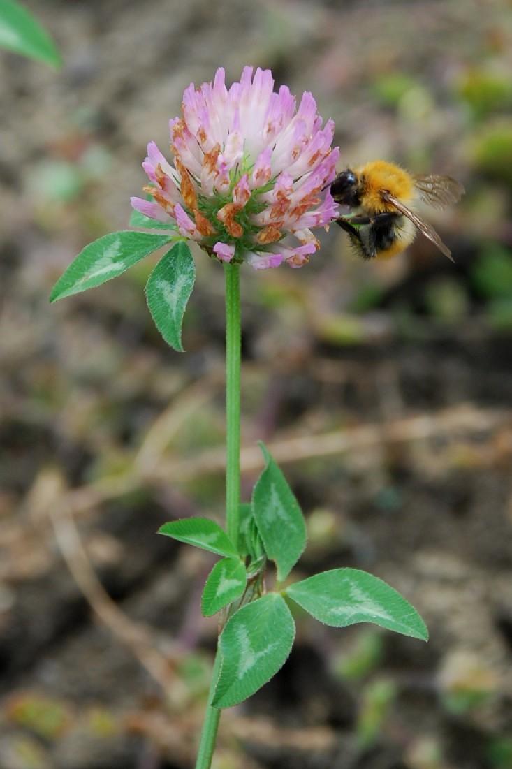 Trifolium pratense subsp. pratense 15