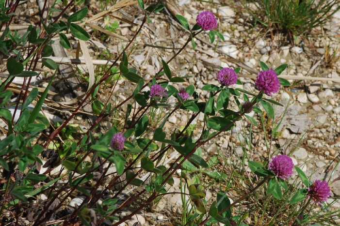 Trifolium pratense subsp. pratense 20