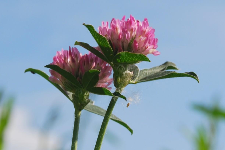 Trifolium pratense subsp. pratense 21