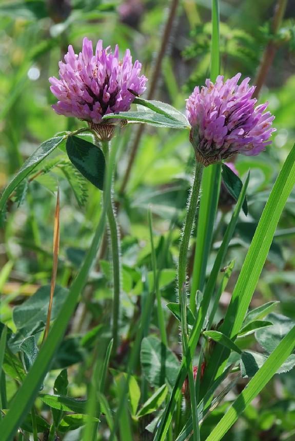 Trifolium pratense subsp. pratense 4