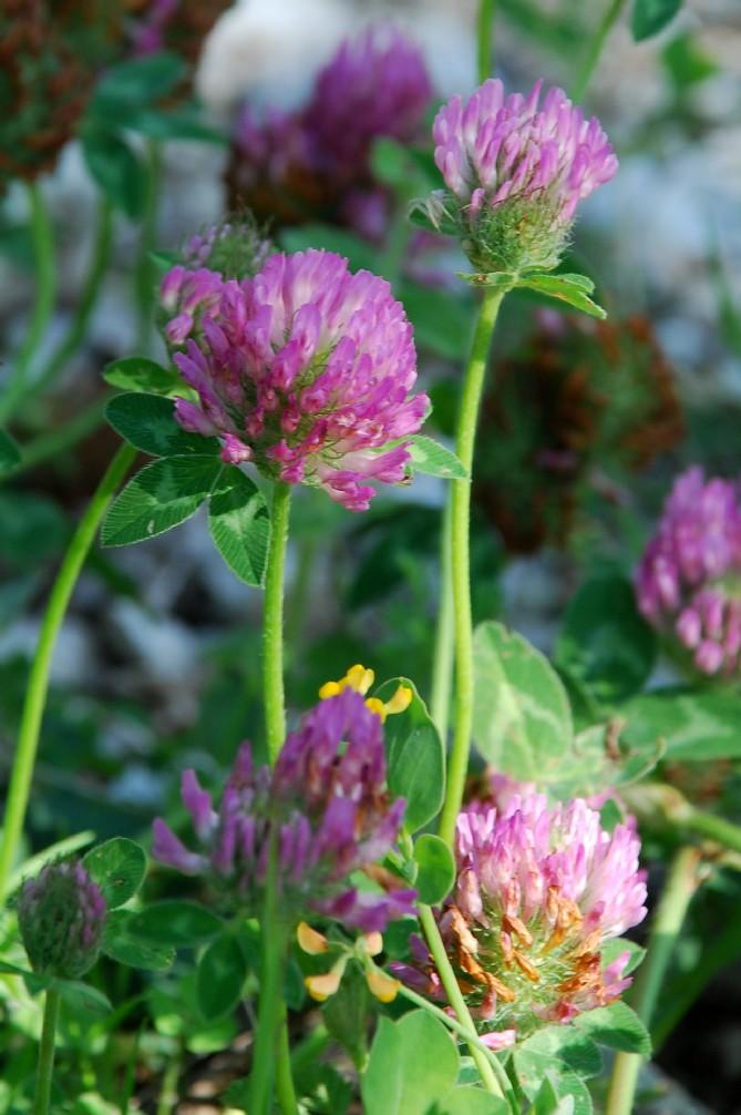 Trifolium pratense subsp. pratense 7