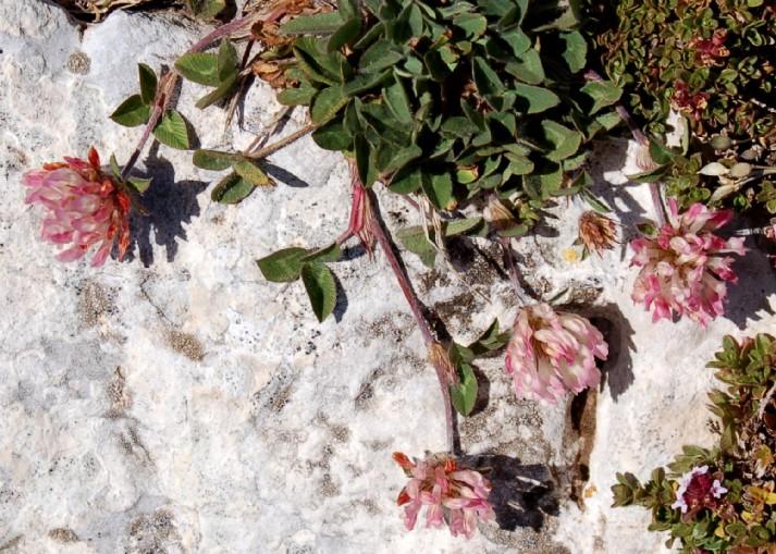 Trifolium pratense subsp. semipurpureum
